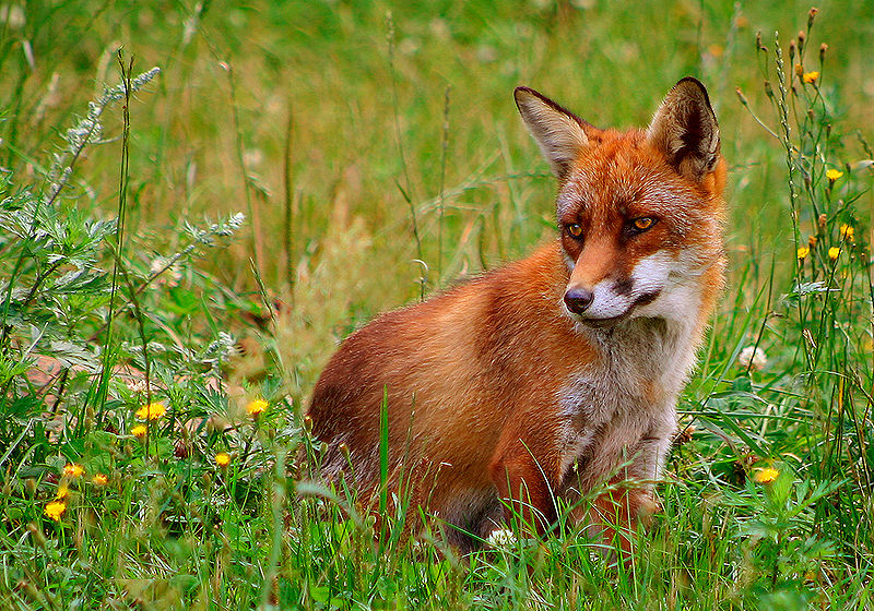 Rotfuchs, Foto von Malene Thyssen